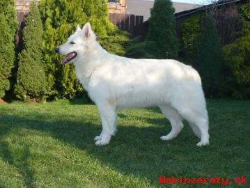 Biely švajčiarsky ovčiak (AKBO)