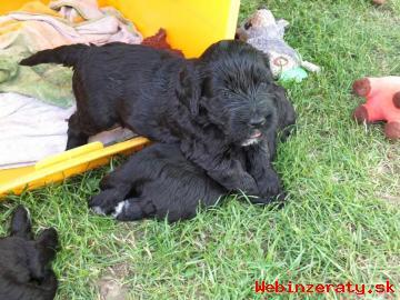 Portugalský vodní pes, prodám štěňata