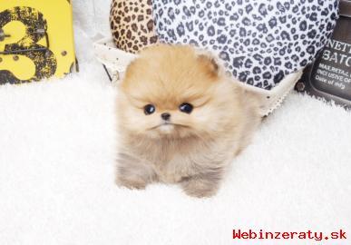 nádherný Pomeranian Ungar dispozícii