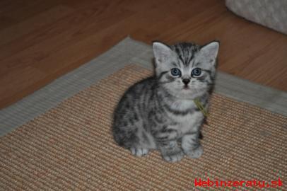 Britské mačiatka PP - Whiskas 0af67d04071
