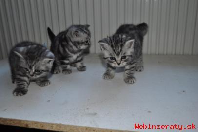 Britské mačiatka PP  - Whiskas