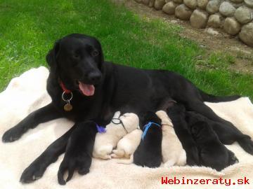 Šteniatka labradora
