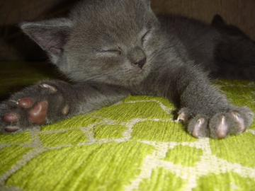 Britská Modrá mačka