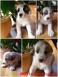 Štěňata - Středoasijský pastevecký pes
