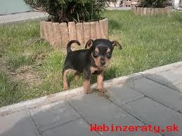 Predám krásne šteniatka Ratlík