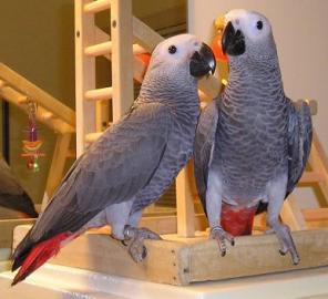 Dve rozkošné afrických Grey papagáje