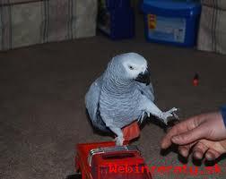 Samci A Samice Africké šedé papoušci