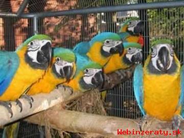 Krásná Zlatá A Modrá Papoušek