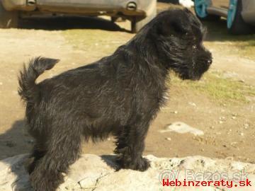 predám 8-týždňového psíka bradáča malého