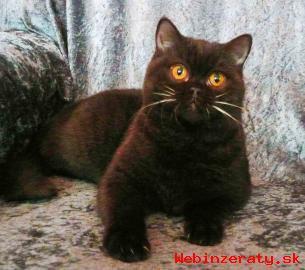 Britská kotata prodám