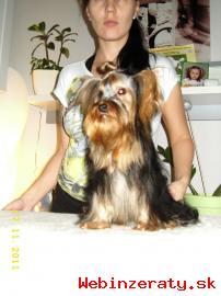 Yorkshire terrier bez pp