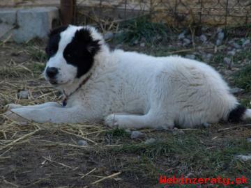 Stredoazijský ovčiak s PP