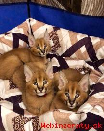 Caracal, Ocelot, Serval mačiatka na pred