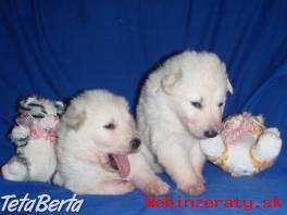 Biely švajčiarsky ovčiak -šteniatka s PP