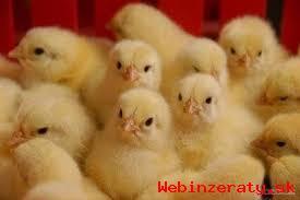 Brojlerové kurčatá