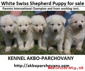 Biely švajčiarsky ovčiak  s PP