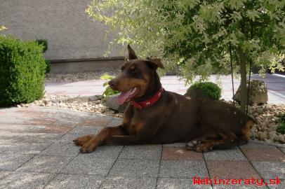 Doberman- šteniatko