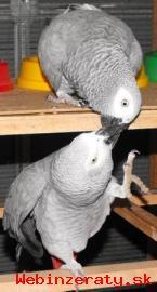 Hovorí africké šedá Papagáje pripravený
