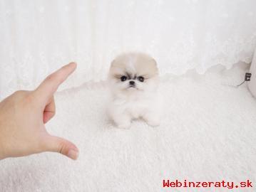 Pomeranian šteňa pre nový domov.