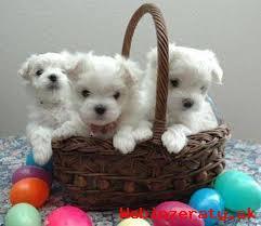 predám krasne šteniatka maltezák