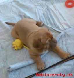 Bordeauxská doga - šteniatka