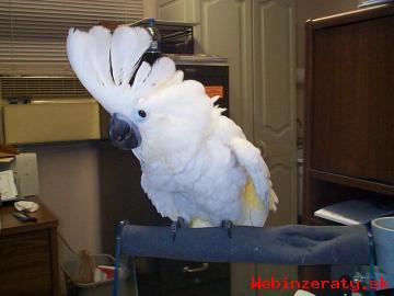 Deštník kakadu papoušci pro prodej.
