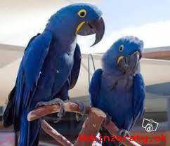 Prodám Krásná Hyacint Papoušek Papoušci
