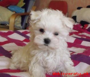 Maltézsky psík s preukazom pôvodu ( PP )