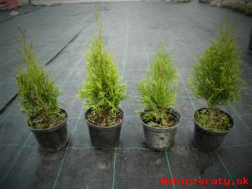 Thuja occidentalis Smaragd 25-30cm