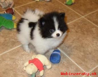 Pomeranian / trpaslíka špic šteňatá na p