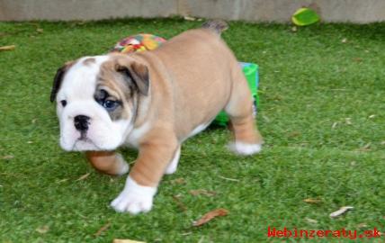 Anglický buldok - štěně na prodej