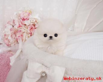 Zdravé Pomeranian Šteňatá registrovaný